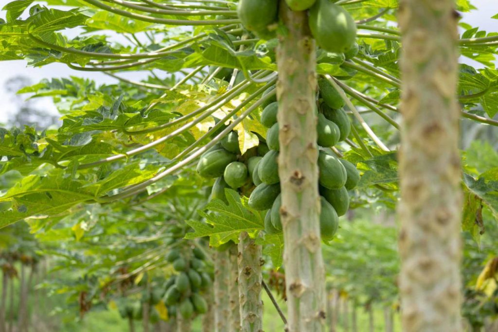 Papaya tree in Hawaii